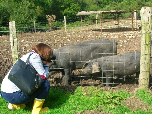 River Cottage Pigs